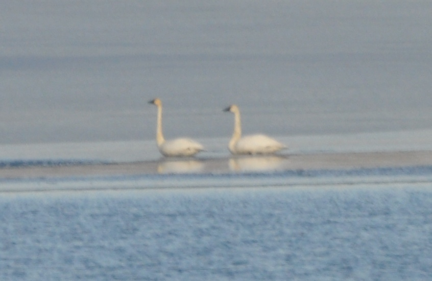 Tundra Swans on South Bay